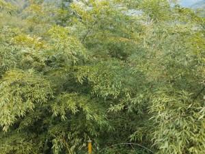 Bambuswälder